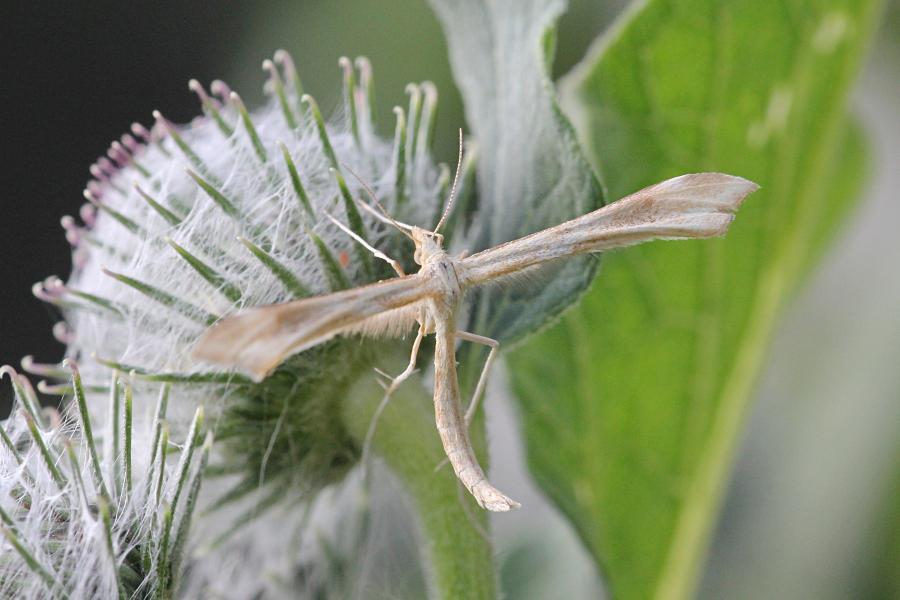 Пальцекрылка (лат. Pterophoridae, птерофорида) - некрупная сумеречная бабочка (моль) с узкими лопастными крыльями буровато-серого цвета и длинными ногами