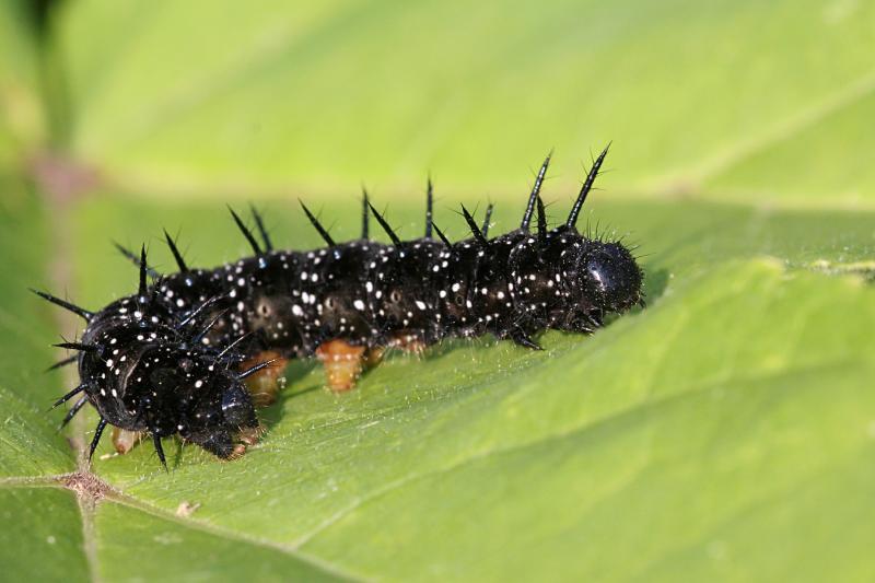 Чёрная гусеница с шипами и белыми точками, из которой вырастет бабочка дневной павлиний глаз (лат. Inachis io), часто можно встретить на крапиве