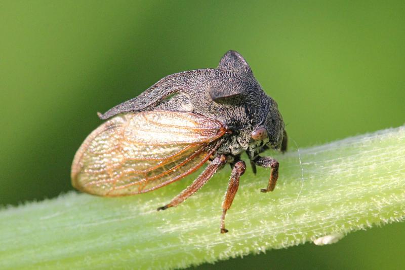 горбатка рогатая (обыкновенная), бодушка (лат. Centrotus cornutus) - похожее на цикаду насекомое с рогами-крыльями и длинным рогом - чемоданной ручкой на спине