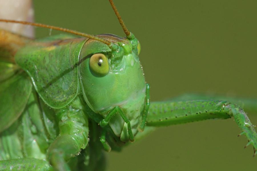 Голова кузнечика певчего (лат. Tettigonia cantans) крупным планом - зелёного цвета с крыльями, усами, прыговыми ногами и саблей (самка)