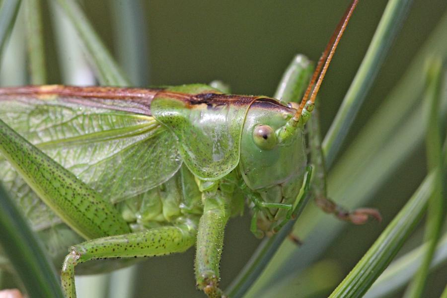 Кузнечик певчий (лат. Tettigonia cantans) зелёного цвета с крыльями, усами, прыговыми ногами и саблей (самка)