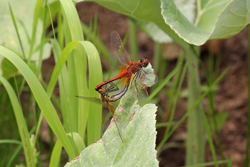 Две стрекозы: красная и жёлтая занимаются сексом, а на их телах несколько присосавшихся клещей пьют гемолимфу