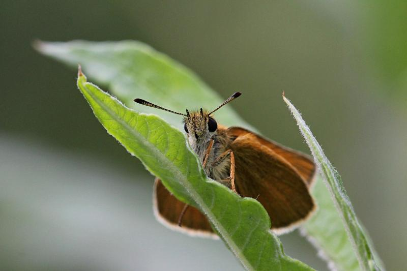 Толстоголовка (Hesperiidae) - мелкая бабочка с охристыми крыльями, сложенными книжкой и непропорционально крупным телом и головой