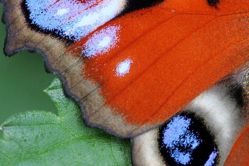 Фрагмент крыла бабочки павлиний глаз (лат. Aglais io) с видными на нём чешуйками, образующими рисунок