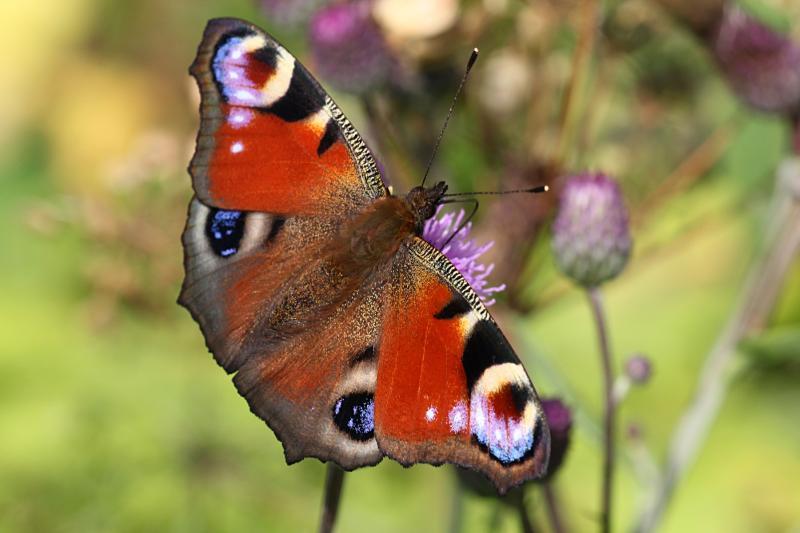Дневной павлиний глаз (лат. Aglais io, ранее лат. Inachis io), крупная бабочка с красно-бурыми крыльями, на которых 4 крупных глазка с голубыми пятнами