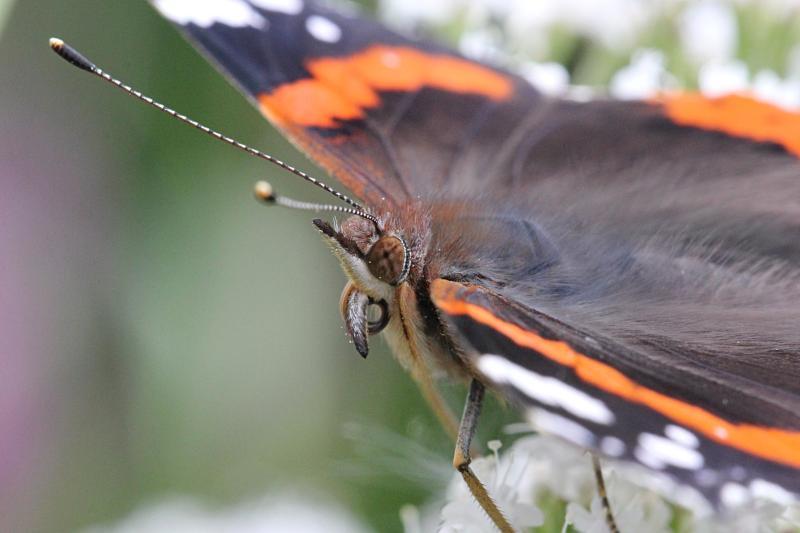 Голова бабочка адмирал (лат. Vanessa atalanta) крупным планом