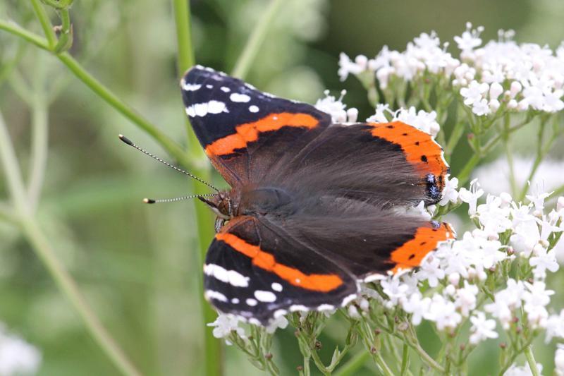 Бабочка адмирал (лат. Vanessa atalanta) с тёмными, почти чёрными крыльями, на которых яркая оранжево-красная полоса и белые пятна
