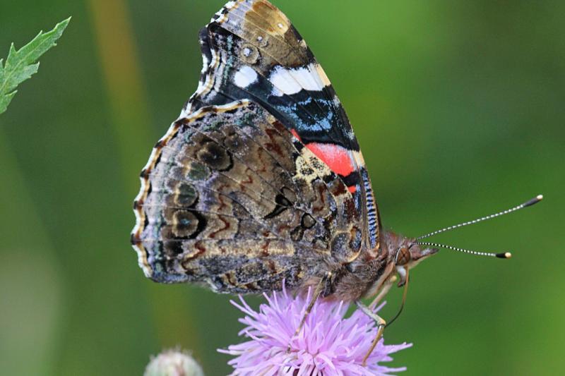 Бабочка адмирал (лат. Vanessa atalanta) с тёмными, почти чёрными крыльями, на которых яркая оранжево-красная полоса и белые пятна  пьет нектар на цветке бодяка полевого (Cirsium arvense)