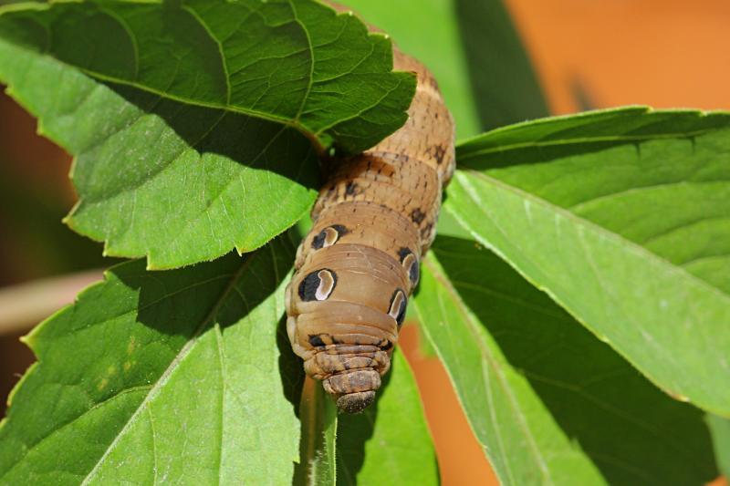 Крупная, похожая на змею гусеница бражника винного (Deilephila elpenor) бурого цвета с большими рисунками глаз на боках и рогом на хвосте