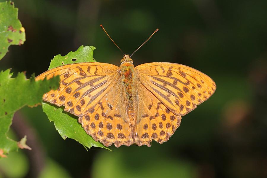 Перламутровка большая (лат. Argynnis paphia, перламутровка большая лесная, перламутровка Пафия) - крупная желтовато-оранжевая бабочка с тёмными точками и полосками на крыльях сидит на листе берёзы