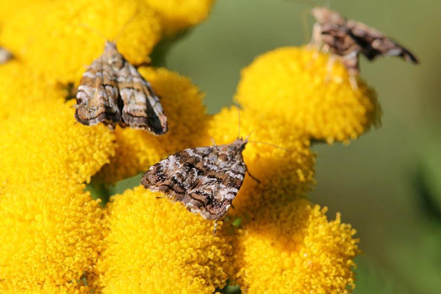 Молелистовёртка берёзовая (Choreutis diana) - мелкая бабочка (моль) серого цвета с волнистыми полосками на крыльях пьёт нектар на цветке пижмы