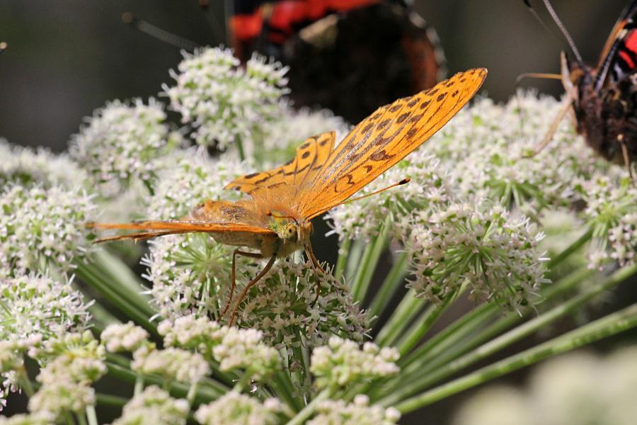 Перламутровка большая (лат. Argynnis paphia, перламутровка большая лесная, перламутровка Пафия) - крупная желтовато-оранжевая бабочка с тёмными точками и полосками на крыльях обедает нектаром на зонтичном цветке