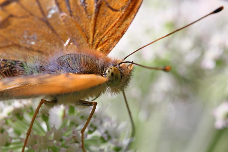 Перламутровка большая (лат. Argynnis paphia, перламутровка большая лесная, перламутровка Пафия) голова крупным планом, обедает нектаром на зонтичном цветке