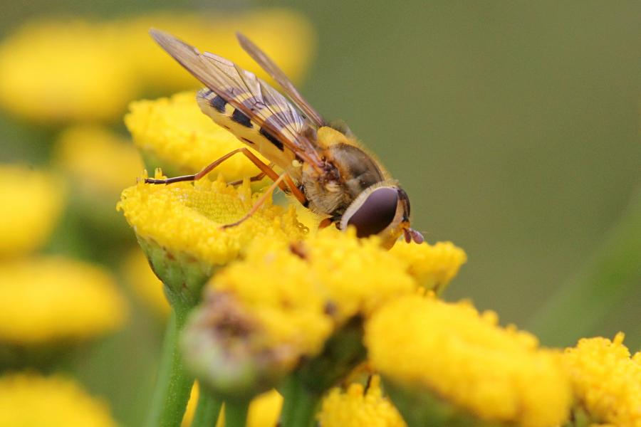Полосатая муха-журчалка (лат. Syrphidae), маскирующаяся под осу или пчелу, пьёт нектар на цветке пижмы