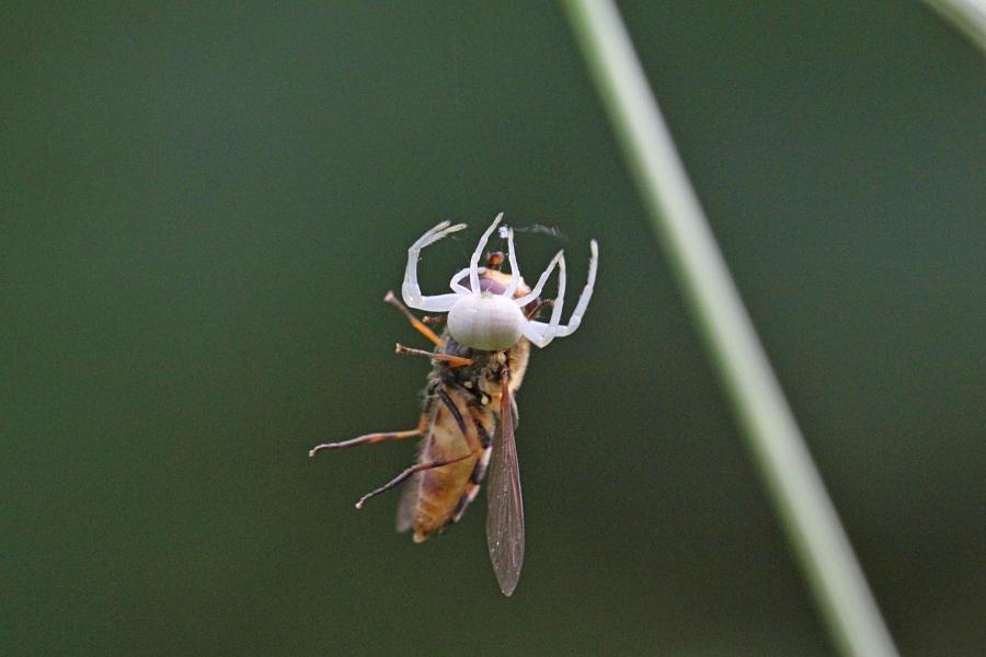 Белый цветочный паук (лат. Misumena vatia, мизумена косолапая) поймал полосатую муху-журчалку (лат. Syrphidae) и повис с нею на паутинке