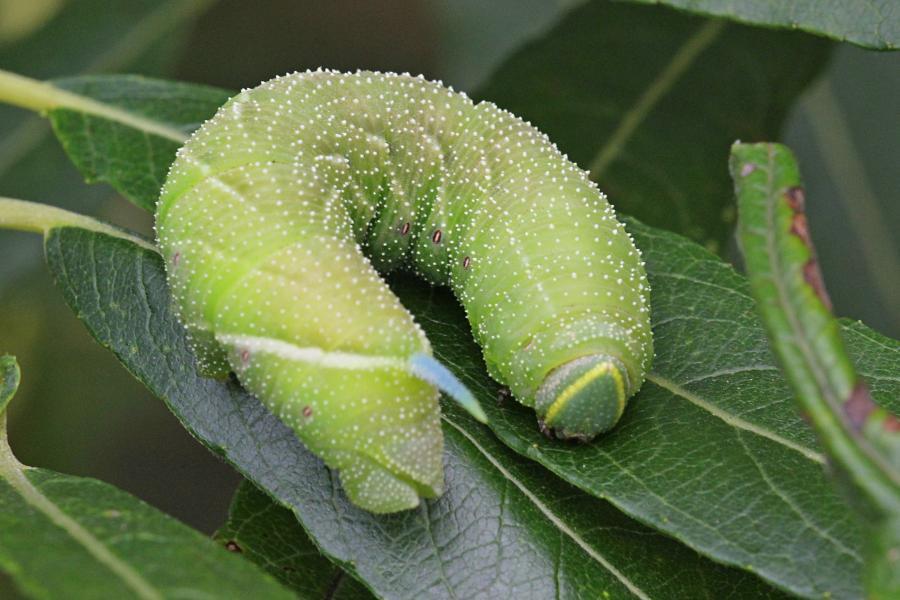 Бражник глазчатый (Smerinthus ocellatus) - крупная зелёная гусеница с голубым рогом на хвосте, косыми белыми полосками и белыми точками на теле, скошенной зелёной головой с жёлтой полосой на ней на листе ивы