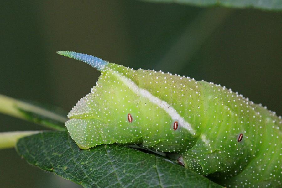 Голубой рог бражника глазчатого (Smerinthus ocellatus) крупным планом - крупная зелёная гусеница с голубым рогом на хвосте, косыми белыми полосками и белыми точками на теле, скошенной зелёной головой с жёлтой полосой на ней на листе ивы