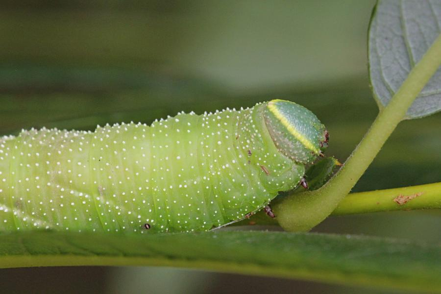 Бражник глазчатый (Smerinthus ocellatus) - крупная зелёная гусеница с голубым рогом на хвосте, косыми белыми полосками и белыми точками на теле, скошенной зелёной головой с жёлтой полосой на ней на ветке ивы