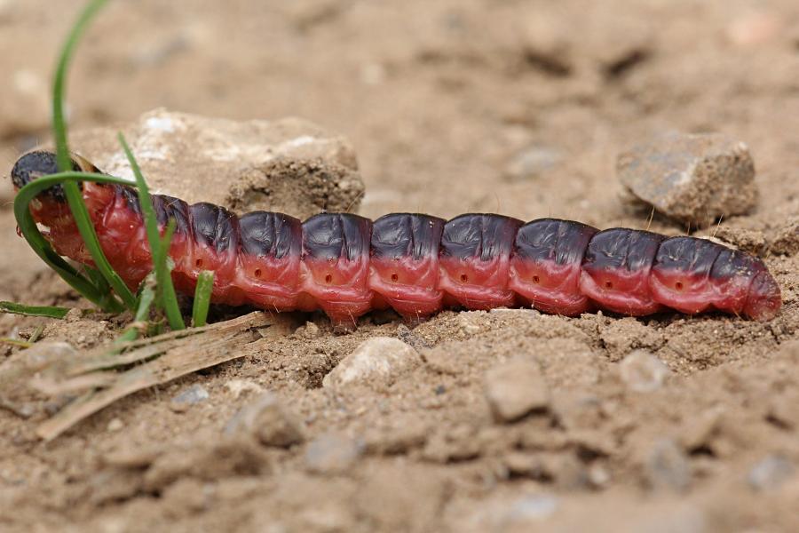 гусеница бабочки древоточец пахучий, или древоточец ивовый, или крушень-древоточец (лат. Cossus cossus) похожая на личинку жука: вишнёвого цвета с тёмной спинкой и черной головой с крупными челюстями