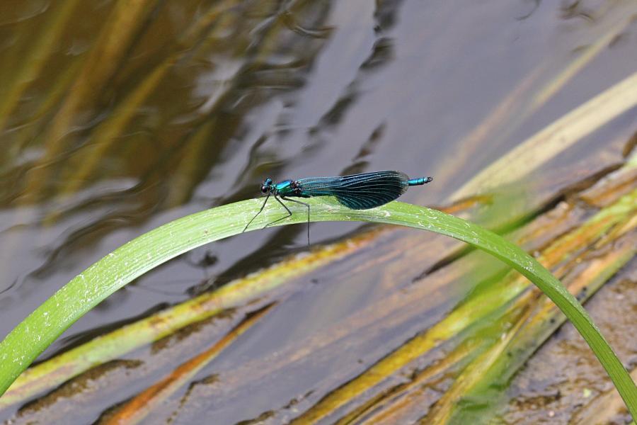 Красотка-девушка (красотка тёмнокрылая, лат. Calopteryx virgo, англ. beautiful demoiselle) - металлически блестящая стрекоза с чёрными крыльями, порхающая как бабочка над рекой