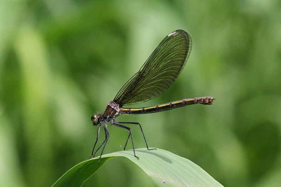 Красотка-девушка (красотка тёмнокрылая, лат. Calopteryx virgo, англ. beautiful demoiselle), самка - металлически блестящая стрекоза с чёрными крыльями, порхающая как бабочка над рекой