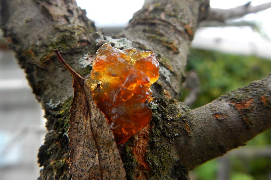 Камедь (смола) на стволе вишни