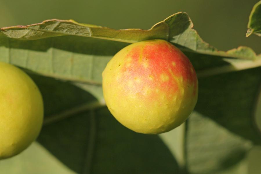Дубовый галл, он же «дубовое яблоко»,   «дубовый виноград», чернильный орешек - круглое жёлтое образование с красным бочком на нижней стороне листа дуба