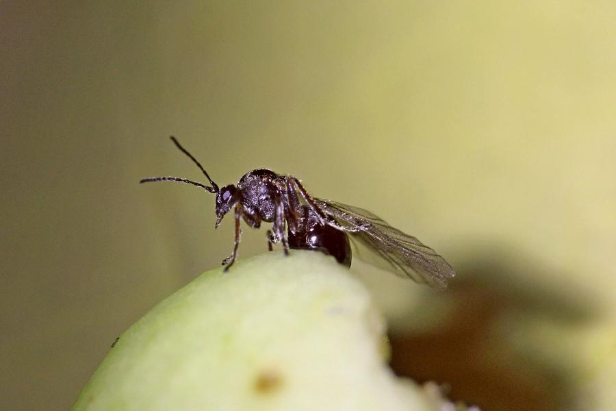 Обыкновенная дубовая орехотворка, или орехотворка яблоковидная, (лат. Cynips quercusfolii) на галлах - «дубовых яблоках» (чернильных орешках)