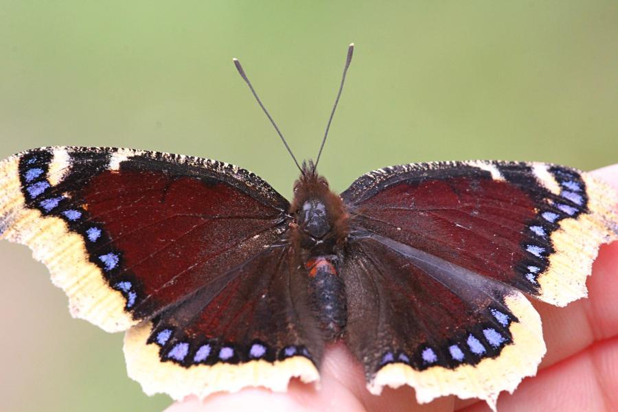 Траурница (лат. Nymphalis antiopa) - крупная бабочка тёмно-коричневого цвета, со светло-жёлтой каймой по краю крыла и голубыми пятнами вдоль неё