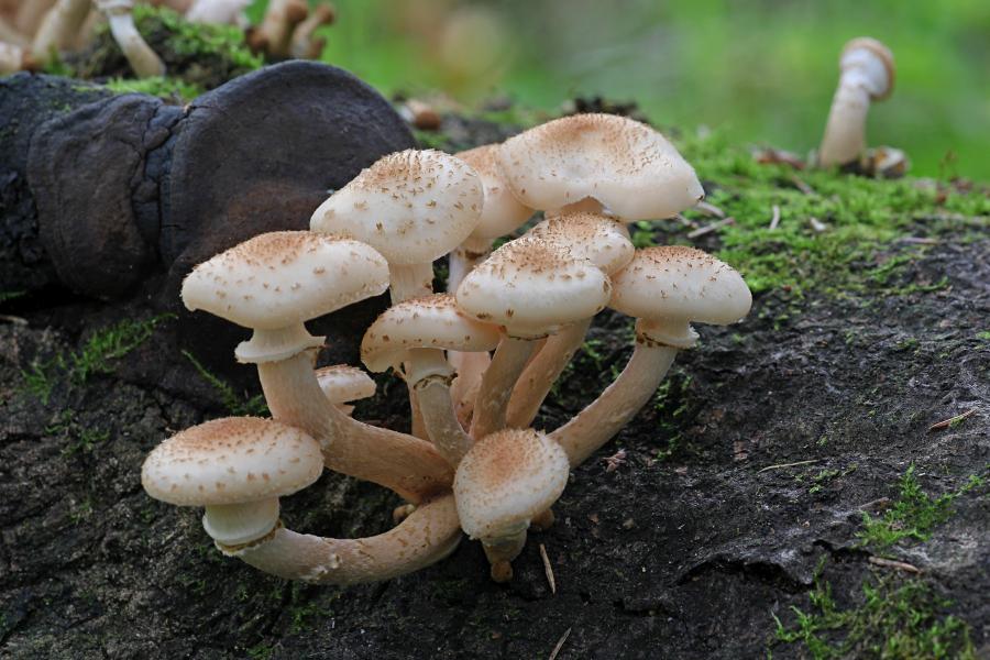 Опёнок осенний, опёнок настоящий (лат. Armillaria mellea) медово-коричневого цвета с хлопьевидными чешуйками на шляпке и ножке и кольцом на ножке, растёт группой старом пне