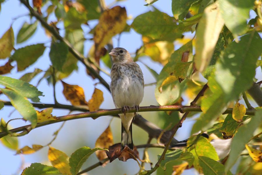 Молодой черноголовый (обыкновенный) щегол (лат. Carduelis carduelis) на ветке: серого цвета, с мелкими пестринами на голове и груди и чёрными крыльями