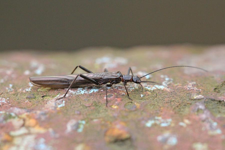 Веснянка (лат. Plecoptera) древнее крылатое насекомое тёмно-коричневого цвета с длинными прозрачными крыльями, появляющееся около рек ранней весной и поздней осенью