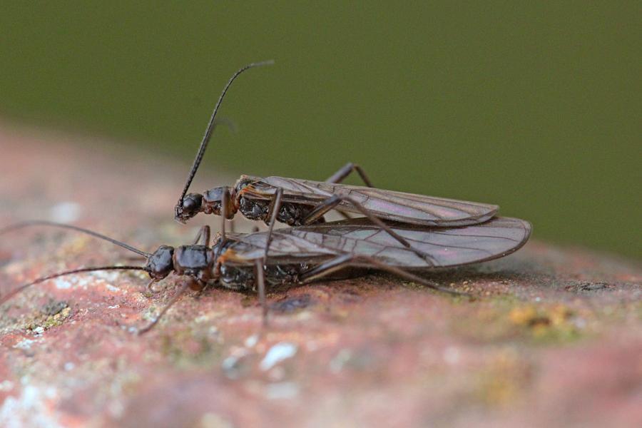 Копуляция веснянок (лат. Plecoptera) древнее крылатое насекомое тёмно-коричневого цвета с длинными прозрачными крыльями, появляющееся около рек ранней весной и поздней осенью