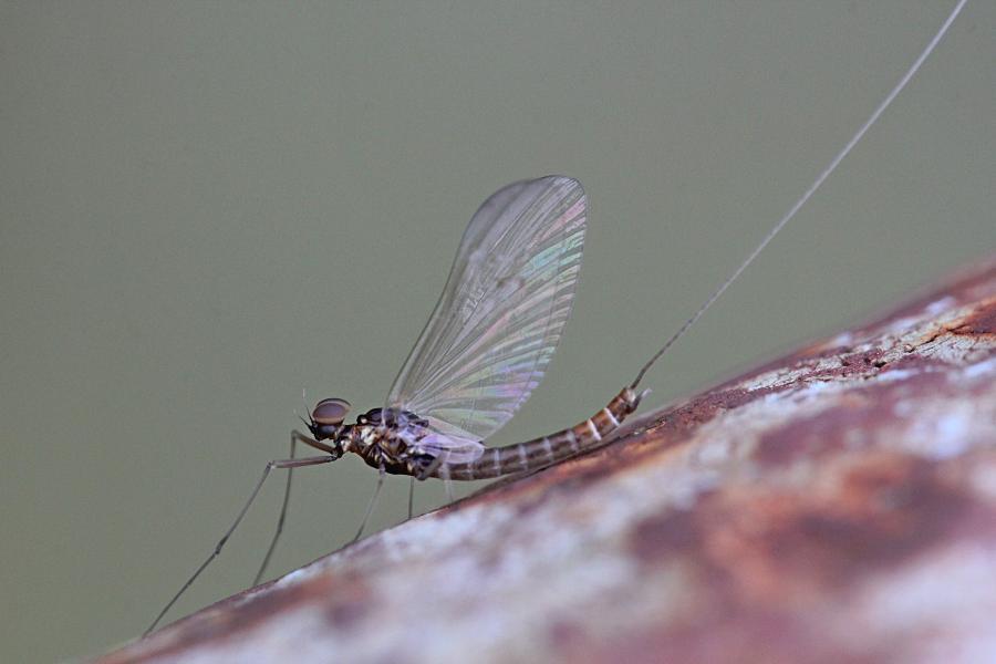 Крылатые подёнки (лат. Ephemeroptera) с тонкими сетчатыми крыльями и тремя длинными нитями на хвосте поздней осенью (сентябрь-октябрь) на берегах реки Мостовицы