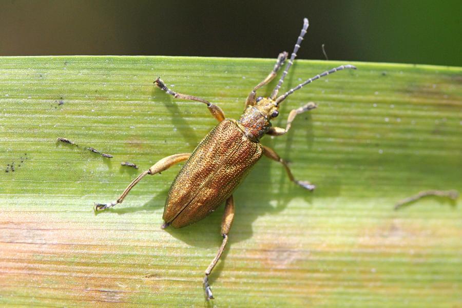 Золотой жук радужница (лат. Donacia), будто отлитый из золота, вытянутой формы, на листе осоки рядом с рекой. Возможно, двухцветная радужница (лат. Donacia bicolora)