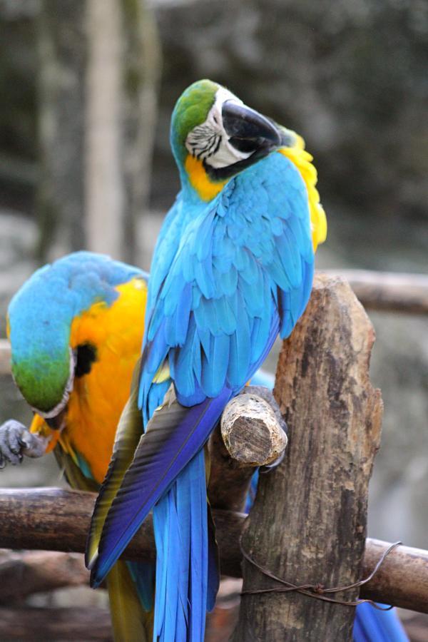 Спящий попугай сине-жёлтый ара (лат. Ara ararauna) #крыльяногиихвосты с голубыми крыльями, жёлтым животом и белым лицом