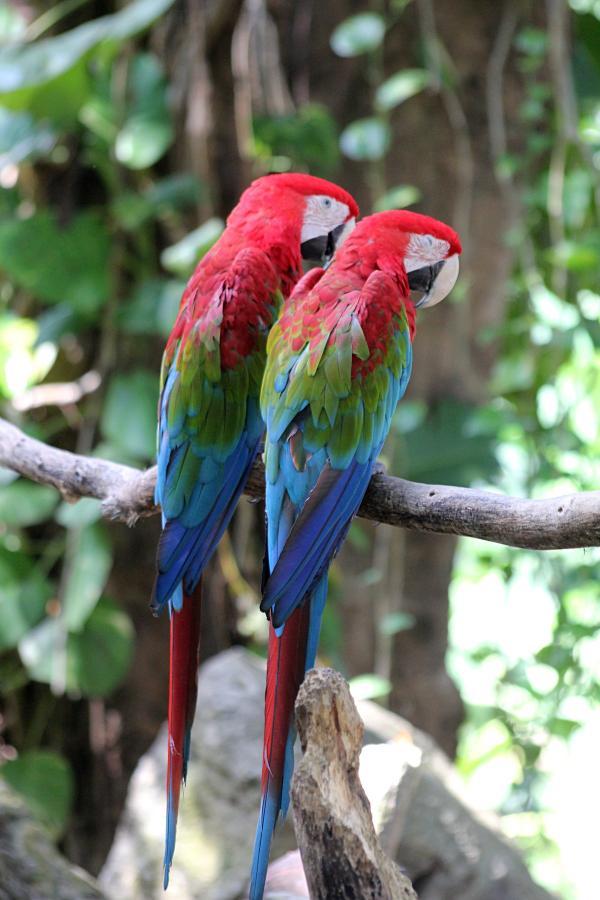 Парочка попугаев зеленокрылый ара (лат. Ara chloroptera), один из которых дремлет #крыльяногиихвосты с красным телом, сине-зелёными крыльями и белым лицом