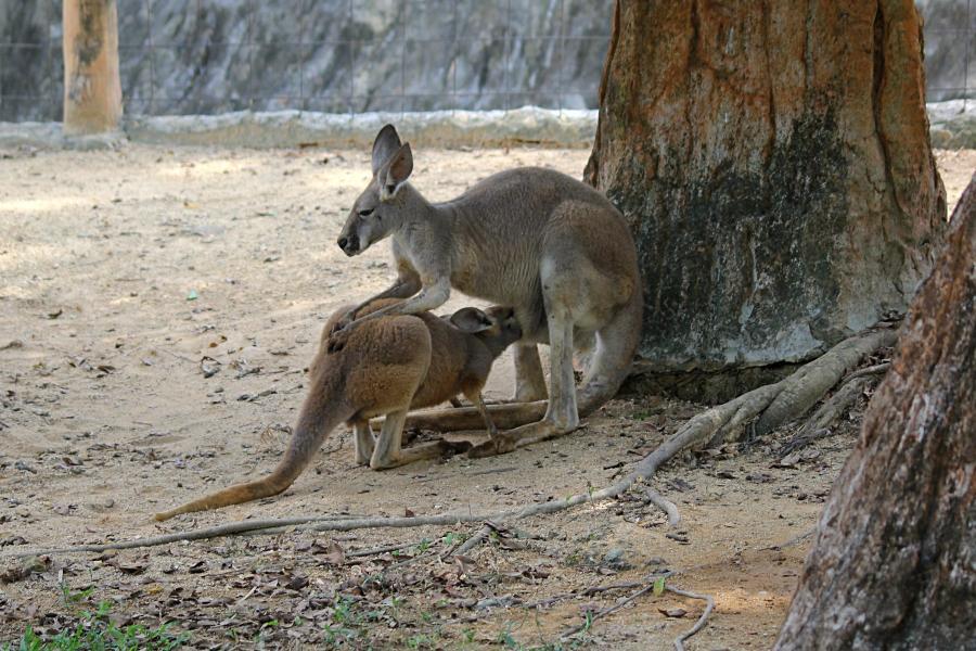 Крупный подросток большого рыжего кенгуру (лат. Macropus rufus) засунул голову в мамину сумку и сосёт молоко #крыльяногиихвосты
