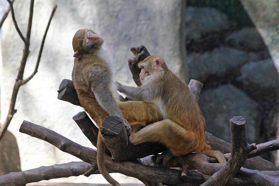 Обезьяний SPA: макака с выражением блаженствва на мордочке, пока другая обезьянка ухаживает за её шерстью. #крыльяногиихвосты