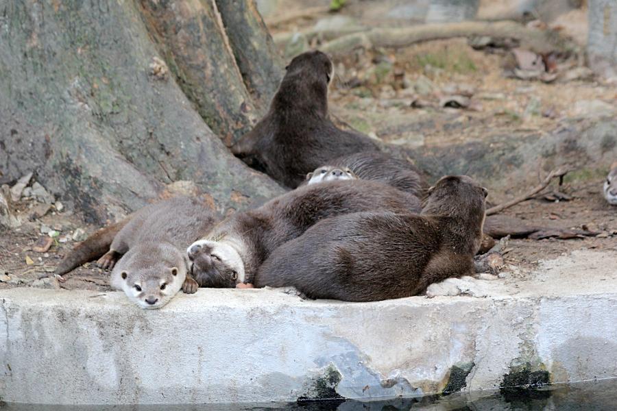 Полуденная дрёма выдр. Выдры спят, положив голову на попу соседа, как на подушку #крыльяногиихвосты