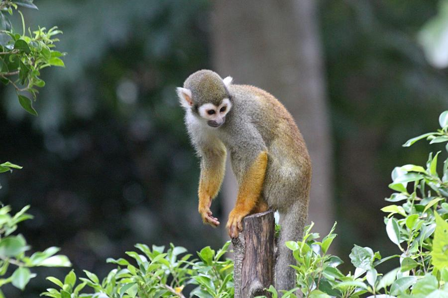 Беличья обезьяна саймири (лат. Saimiri sciureus), которую называют «мёртвая голова» за характерный окрас головы - светлые пятна вокруг глаз на тёмной морде.