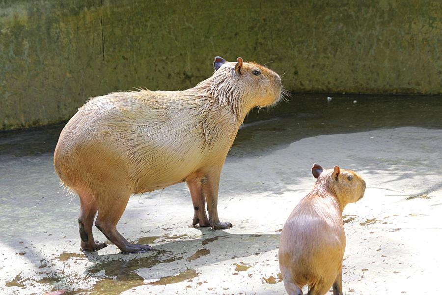 Капибара или водосвинка (лат. Hydrochoerus hydrochaeris) - самый крупный грызун в мире