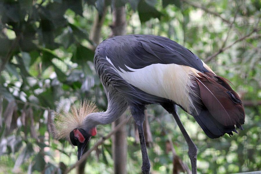 Восточный венценосный журавль (лат. Balearica regulorum) крупная птица серого цвета с большим хохолком из золотистых перьев на голове, похожим на корону, щеками белого цвета и красной бородкой. #крыльяногиихвосты