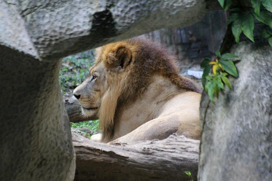 Лев (лат. Panthera leo) с пышной гривой лежит на траве среди камней #крыльяногиихвосты
