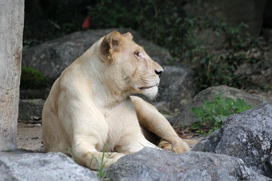 Крупная львица (лат. Panthera leo) лежит на траве под деревом среди камней. надменный взгляд и морда со шрамами. #крыльяногиихвосты