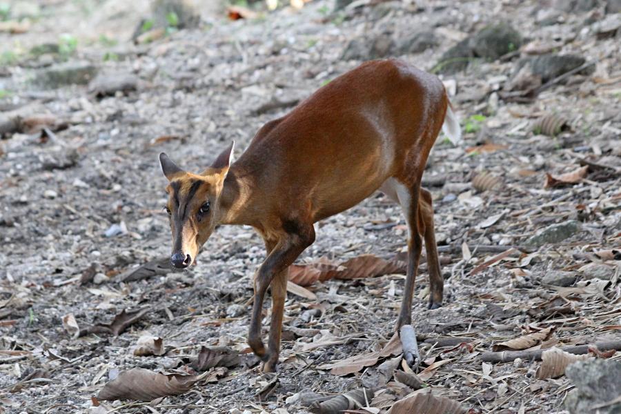 Индийский мунтжак (лат. Muntiacus muntjak) - небольшой олень размером с крупную собаку, с маленькими тонкими ногами и удлинённой мордой. Умеет лаять, потому называют лающим оленем (barking deer). #крыльяногиихвосты