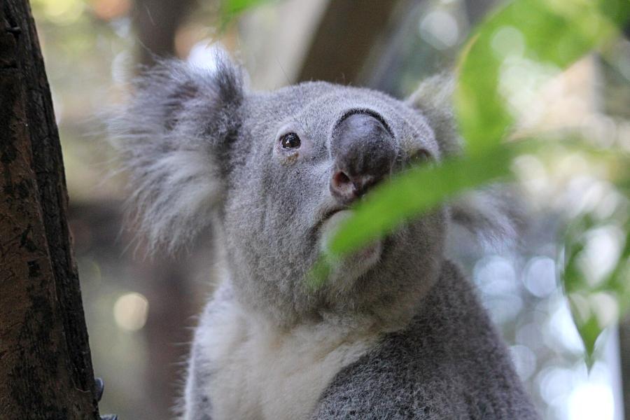 Портрет коалы (лат. Phascolarctos cinereus) - австралийский сумчатый «медвежонок» с серой шёрсткой, мохнатыми ушками и кожаным носом #крыльяногиихвосты