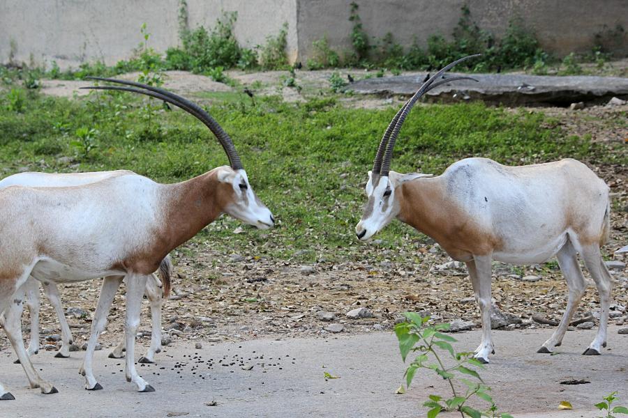 Сахарский орикс, или саблерогая антилопа (лат. Oryx dammah) - африканская антилопа светлого цвета с очень длинными тонкими рогами и рисунком-маской на лице #крыльяногиихвосты