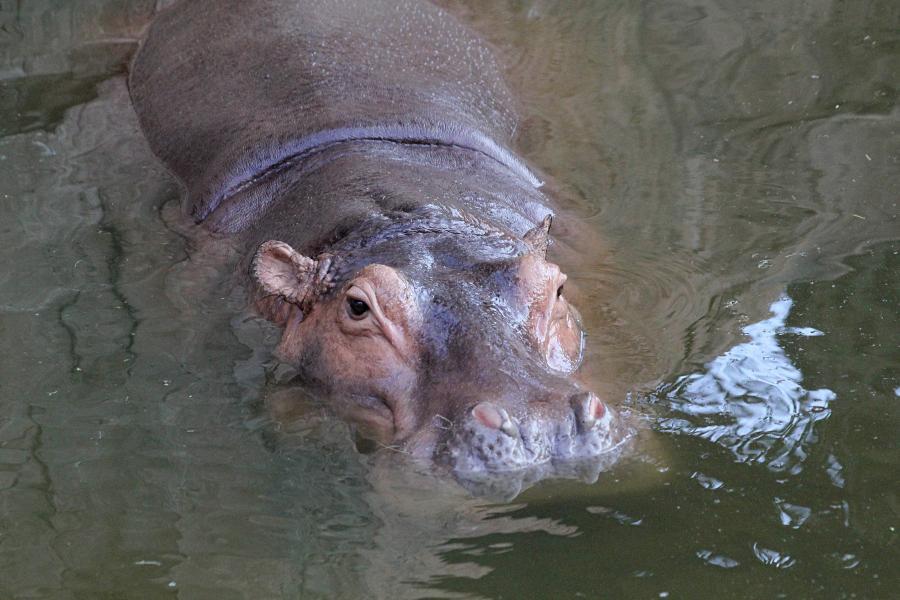 Обыкновенный бегемот, гиппопотам (Hippopotamus amphibius) скрывшийся в воде, только высоко расположенные глаза и ноздри торчат над ней. бегемотьи ушки. #крыльяногиихвосты