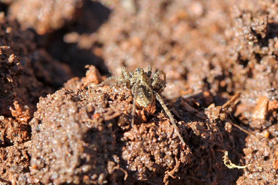 Серый мохнатый паук-волк (Lycosidae) на комке земли